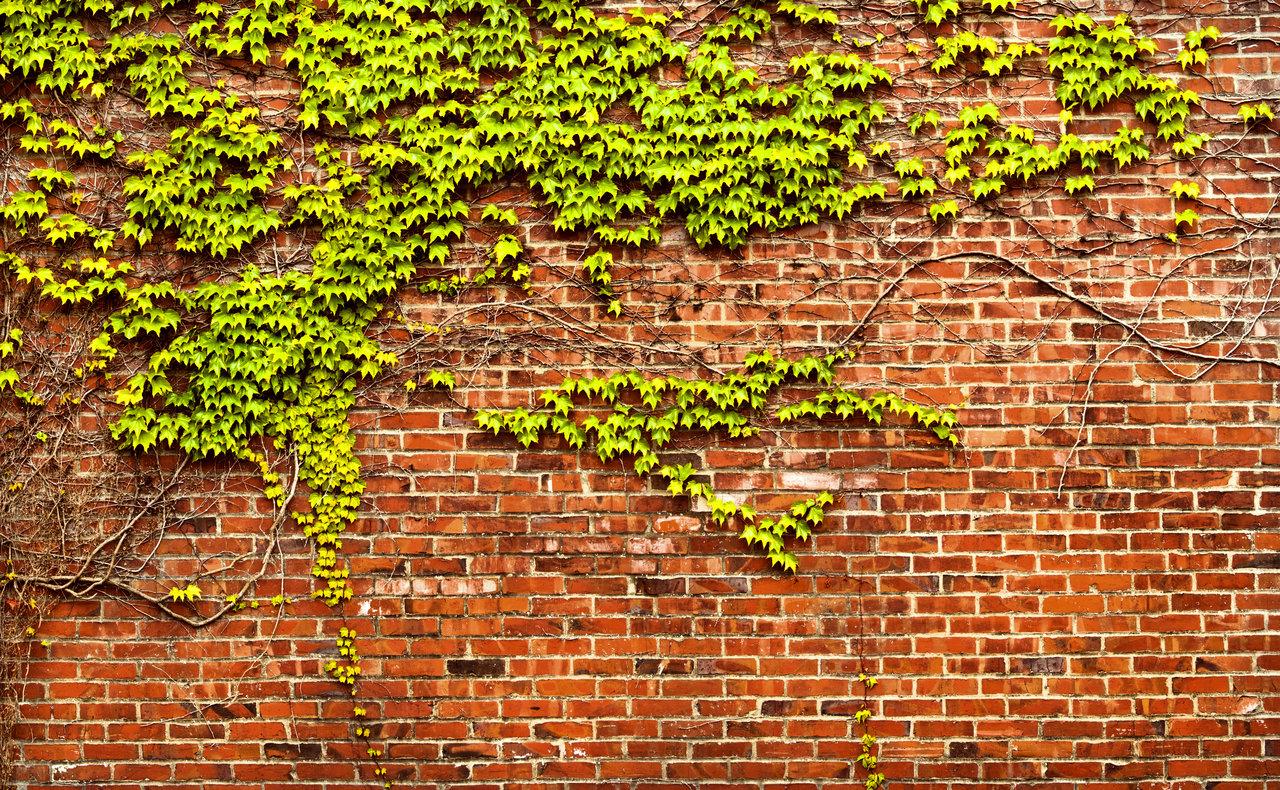 Brick-Wall-Ivy